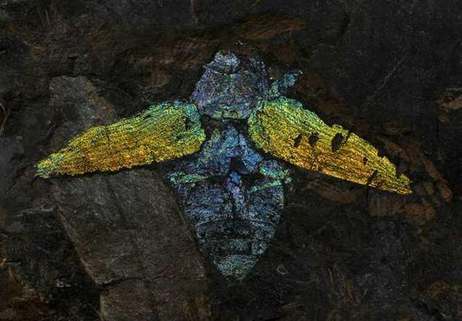 Fossiler Prachtkäfer (Buprestidae) aus der Geiseltalsammlung der Martin-Luther-Universität Halle-Wittenberg. Er ist ein Zeuge des wesentlich wärmeren Klimas vor ca. 45 Millionen Jahren. (© LDA Sachsen-Anhalt, Foto: J. Lipták)